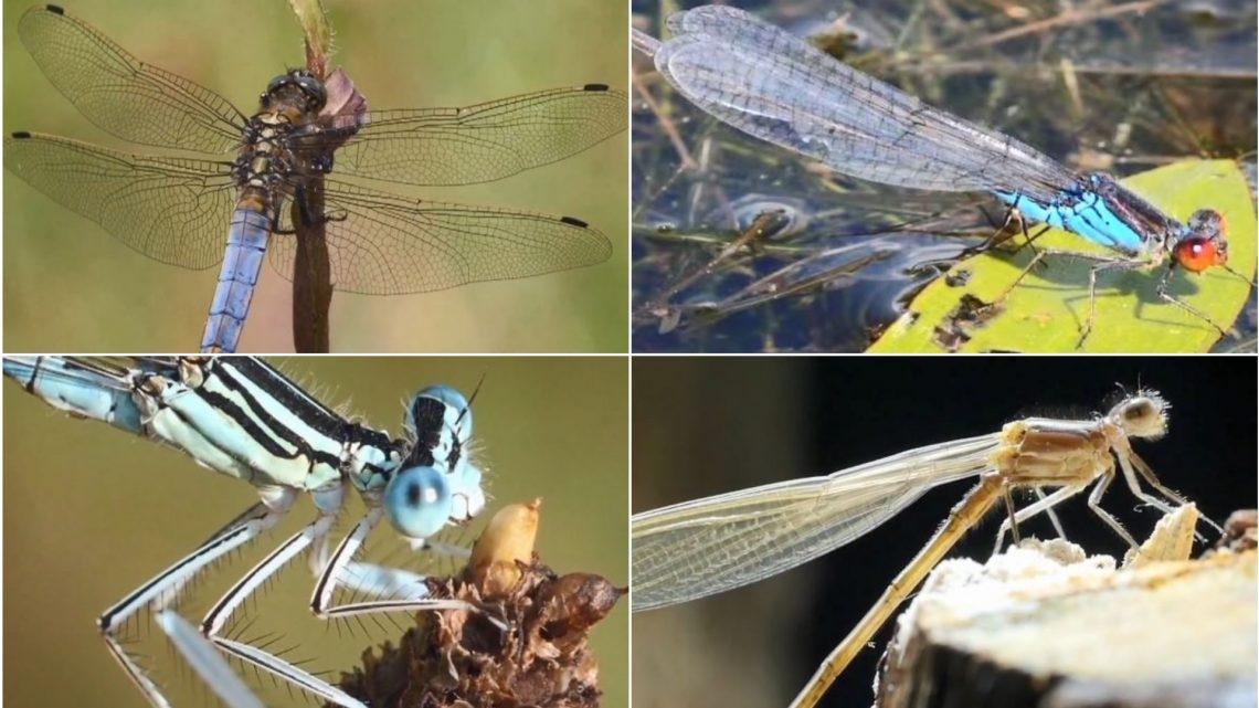 Heimatliche Artenvielfalt – Libellen-Quintett